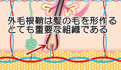 育毛の根本を司る「外毛根鞘」|毛母細胞の元となる重要な器官
