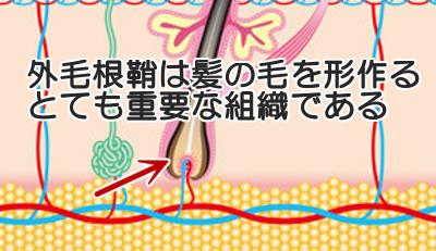 外毛根鞘という組織は髪の毛のもととなる細胞を生み出すと考えられる