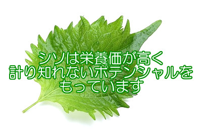 シソは薄毛の一因となりうるアレルギー物質を抑制する緑黄色野菜