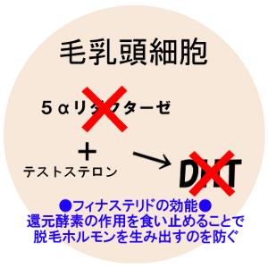 プロペシア(フィナステリド)の効果は5αリダクターゼ2型を阻害する